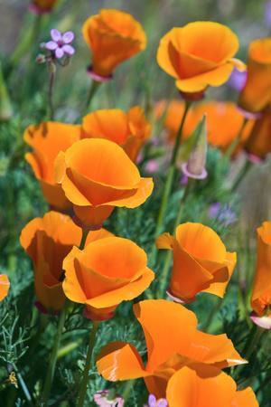 https://imgc.allpostersimages.com/img/posters/california-poppies-antelope-valley-california-usa_u-L-Q1D0N8C0.jpg?artPerspective=n