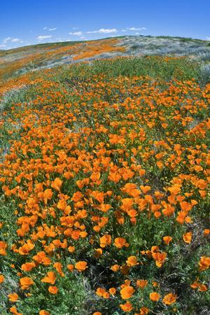 https://imgc.allpostersimages.com/img/posters/california-poppies-antelope-valley-california-usa_u-L-Q1D0P860.jpg?p=0