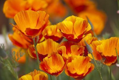 https://imgc.allpostersimages.com/img/posters/california-poppies-in-bloom-seattle-washington-usa_u-L-PN72BN0.jpg?p=0