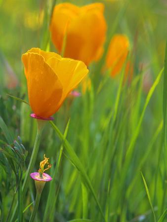 https://imgc.allpostersimages.com/img/posters/california-poppy-reserve-lancaster-california-usa_u-L-PHAMOV0.jpg?p=0