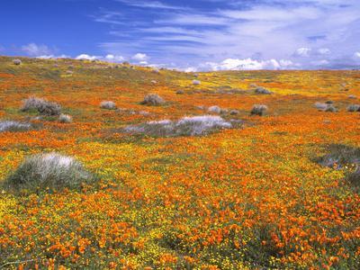 https://imgc.allpostersimages.com/img/posters/california-poppy-reserve-lancaster-california-usa_u-L-PXQMV80.jpg?p=0