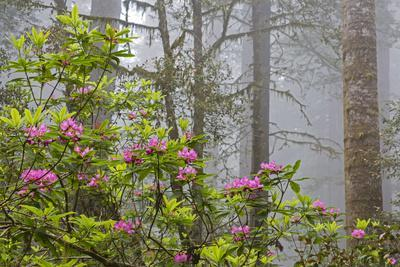 https://imgc.allpostersimages.com/img/posters/california-redwood-national-park-lady-bird-johnson-grove-redwood-trees-with-rhododendrons_u-L-Q1D09FE0.jpg?p=0