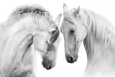 Couple of Beautiful White Horses Isolated on White Background. High Key Image by Callipso