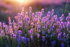 Lavander Blooms by Callipso88