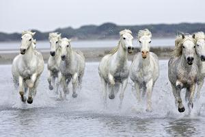 Camargue Horses Running Through Water