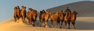 Camel Caravan in a Desert, Gobi Desert, Independent Mongolia