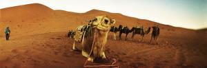 Camel in the Sahara Desert with a Berber Man in the Background, Morocco