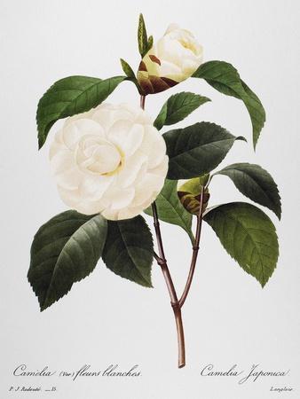https://imgc.allpostersimages.com/img/posters/camellia-1833_u-L-PGLC7D0.jpg?artPerspective=n