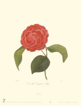 Camellia Campsii Alba