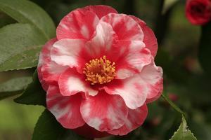 """Camellia japonica """"Spring Sonnet"""""""