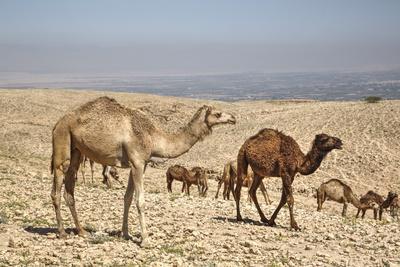 https://imgc.allpostersimages.com/img/posters/camels-near-the-dead-sea-jordan-middle-east_u-L-PWFM9U0.jpg?artPerspective=n