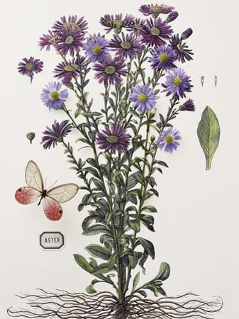 Floral Decoupage - Aster by Camille Soulayrol