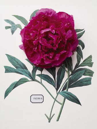 Floral Decoupage - Paeonia by Camille Soulayrol