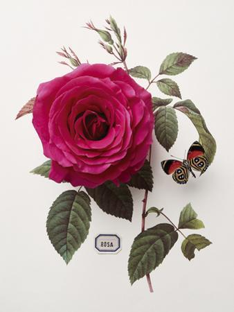 Floral Decoupage - Rosa by Camille Soulayrol