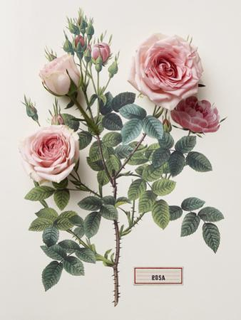 Floral Decoupage - Rosales by Camille Soulayrol
