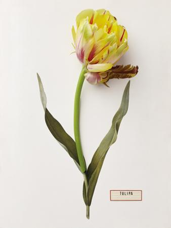 Floral Decoupage - Tulipa by Camille Soulayrol
