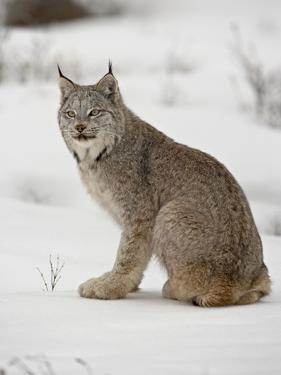 Canadian Lynx (Lynx Canadensis) in Snow in Captivity, Near Bozeman, Montana