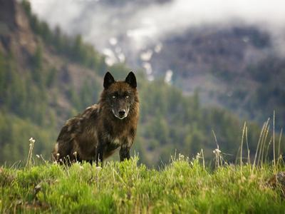 https://imgc.allpostersimages.com/img/posters/canyon-pack-alpha-female-wolf-of-2009_u-L-Q10T6450.jpg?p=0
