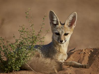 https://imgc.allpostersimages.com/img/posters/cape-fox-cama-fox-silver-backed-fox-vulpes-chama_u-L-PWFCPK0.jpg?p=0