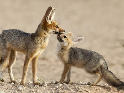https://imgc.allpostersimages.com/img/posters/cape-fox-with-cub-vulpes-chama-kgalagadi-transfrontier-park-northern-cape-south-africa-africa_u-L-PFNO580.jpg?artPerspective=n