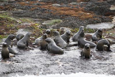 https://imgc.allpostersimages.com/img/posters/cape-fur-seals-arctocephalus-pusillus-pusillus_u-L-PNFXGP0.jpg?artPerspective=n