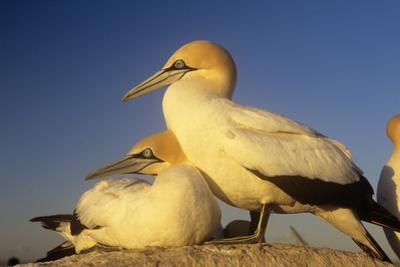 Cape Gannet Pair, One Standing One Lying-Down