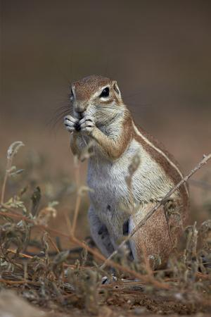 https://imgc.allpostersimages.com/img/posters/cape-ground-squirrel-xerus-inauris-eating_u-L-PWFBVW0.jpg?p=0