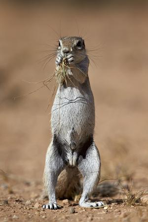 https://imgc.allpostersimages.com/img/posters/cape-ground-squirrel-xerus-inauris-eating_u-L-PWFFFV0.jpg?p=0