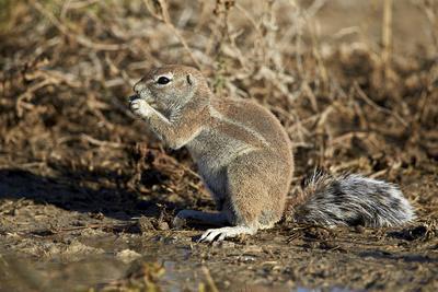 https://imgc.allpostersimages.com/img/posters/cape-ground-squirrel-xerus-inauris-eating_u-L-PWFJKF0.jpg?p=0