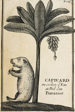 Capivard or Water Pig at Foot of Banana Tree