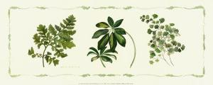 Assorted Ferns by Cappello
