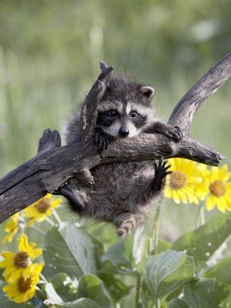 https://imgc.allpostersimages.com/img/posters/captive-baby-raccoon-animals-of-montana-bozeman-montana-usa_u-L-P7NQ8W0.jpg?artPerspective=n