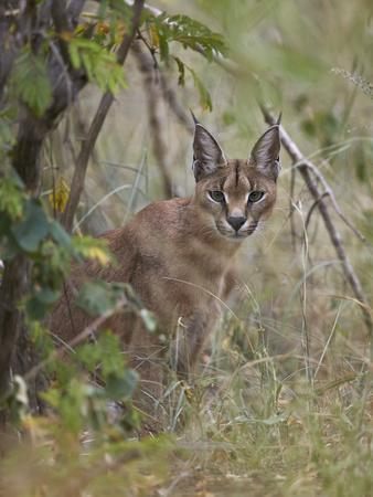 https://imgc.allpostersimages.com/img/posters/caracal-caracal-caracal-kruger-national-park-south-africa-africa_u-L-PWFBYQ0.jpg?p=0