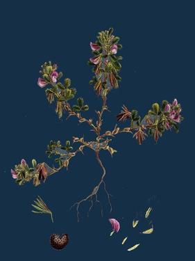 Carex Atrata; Black Sedge