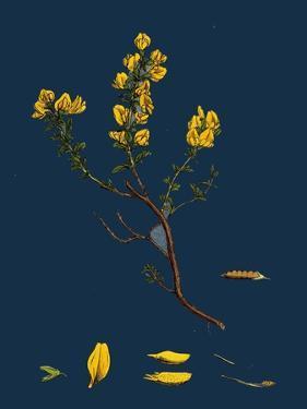 Carex Buxbaumii; Hoary Sedge