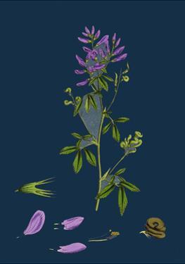 Carex Remota; Distant-Spiked Sedge