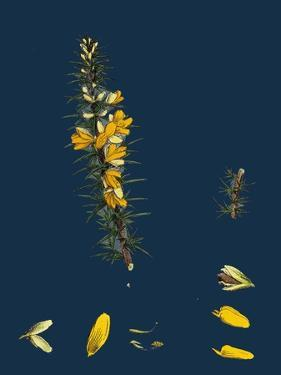 Carex Rigida; Stiff Mountain Sedge