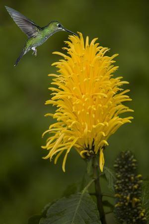 https://imgc.allpostersimages.com/img/posters/caribbean-costa-rica-green-crowned-brilliant-hummingbird-feeding_u-L-Q1D0FRM0.jpg?artPerspective=n