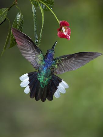 https://imgc.allpostersimages.com/img/posters/caribbean-costa-rica-violet-sabrewing-hummingbird-feeding_u-L-Q1D0F3G0.jpg?artPerspective=n