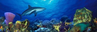 Caribbean Reef Shark Rainbow Parrotfish in the Sea