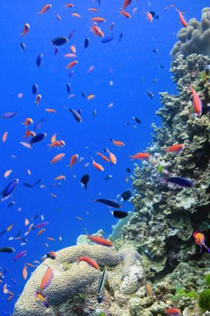 Fish on Tropical Coral Reef by Carl Chapman