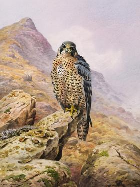 Peregrine Falcon by Carl Donner