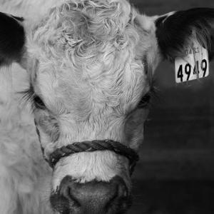 The Calf by Carl Ellie