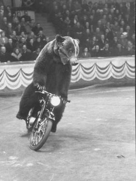 Extraordinarily Skillful Russian Performing Bear Driving a Motorcycle by Carl Mydans