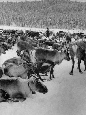 Group Shot of Reindeer Standing in Snow by Carl Mydans