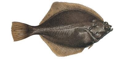 Illustration, Flounder, Platichthys Flesus, Not Freely for Book-Industry, Series