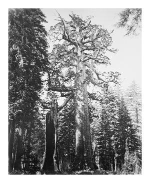 The Grizzly Giant and Mariposa Grove by Carleton E Watkins