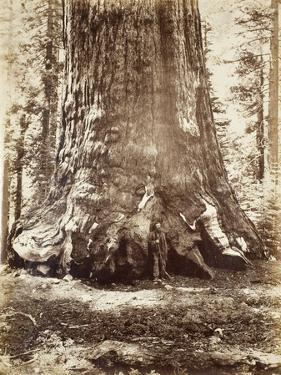 Section of the Grizzly Giant with Galen Clark, Mariposa Grove, Yosemite, 1865-66 by Carleton Emmons Watkins