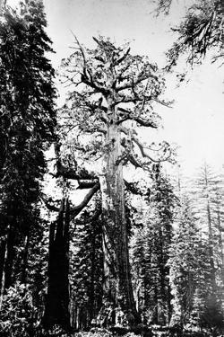 The Grizzly Giant, C.1860s by Carleton Emmons Watkins