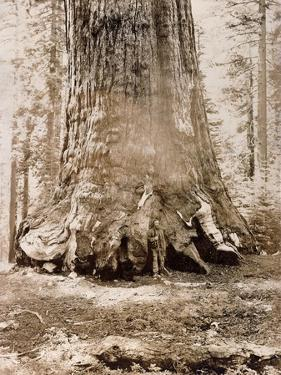 Trunk of the 'Grizzly Giant', Mariposa Grove, 33 Feet Diameter, 1861 by Carleton Emmons Watkins